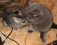 Подробнее: Содержание шиншиллы и кошки в одной квартире. Миф или реальность?