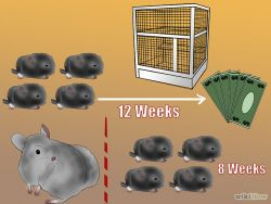 b_250_250_16777215_00_images_670px-Breed-Chinchillas-Step-2Bullet2.jpg