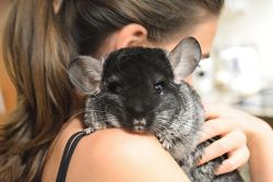 b_250_250_16777215_00_images_How-to-Tame-Chinchillas.jpg